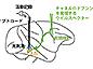 霊長類の脳神経回路を光で操作する手法の開発に成功--霊長類が有する高次脳機能の解明や精神・神経疾患の治療への応用に期待-