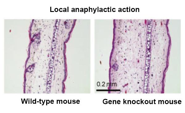 Figure 1: Allergic reaction suppression by Aladdin -1