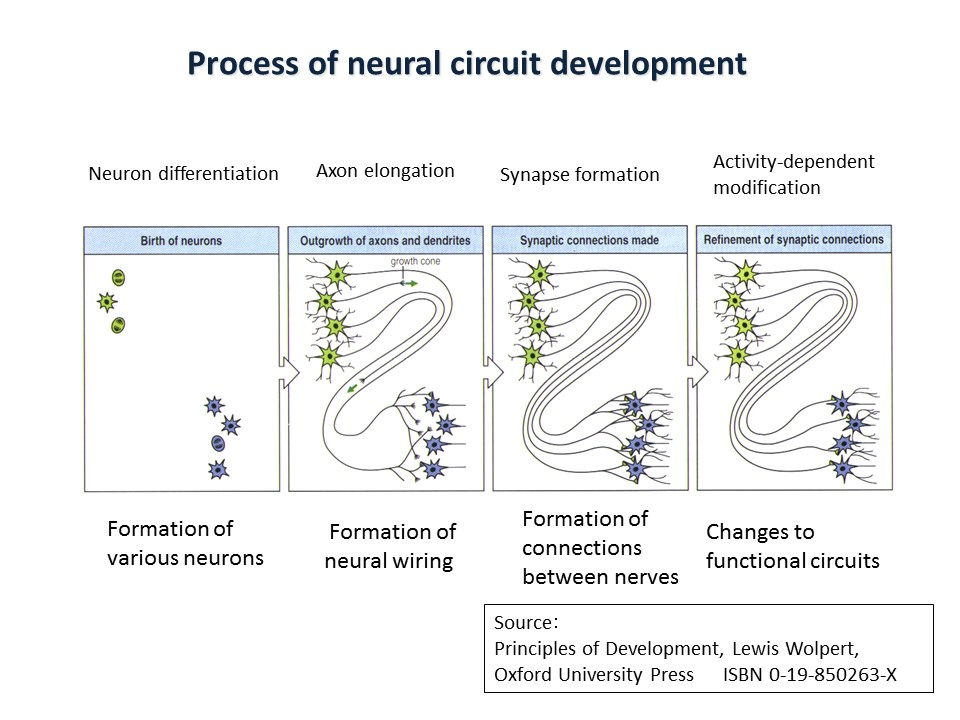 Fig. 1 Process of neural circuit development