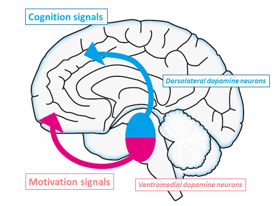 Fig. 2 Two different dopamine signals