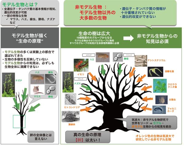 図1:生命の樹(=全生物の系統樹)の概念図