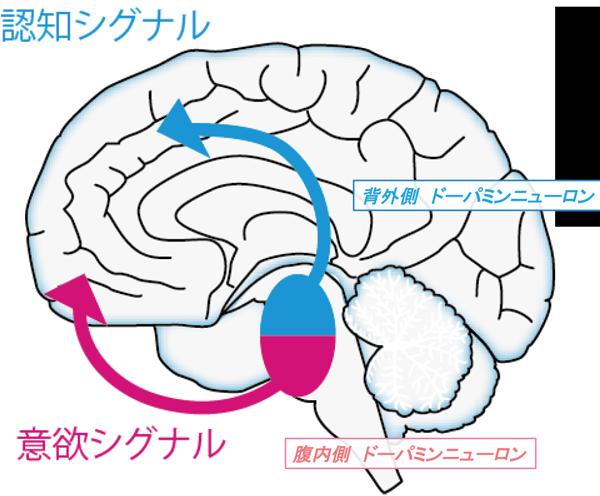 図2:2つの異なるドーパミンシグナル